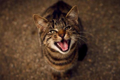 Kucing Mengeong