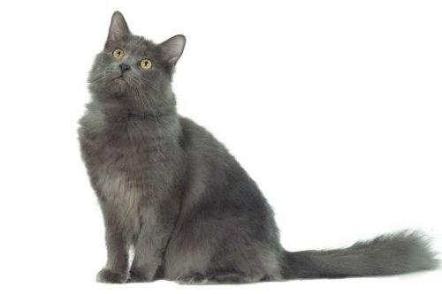 Kucing Nebelung