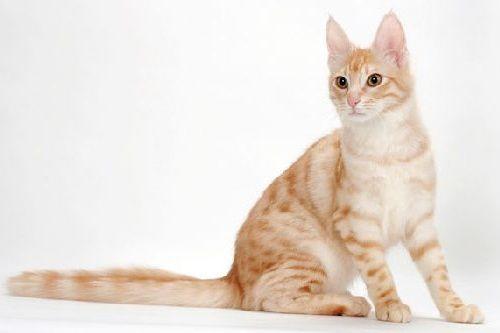 Kucing Oren Anggora
