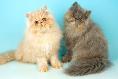 Kucing Persia Siap Kawin