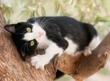Kucing Tuksedo