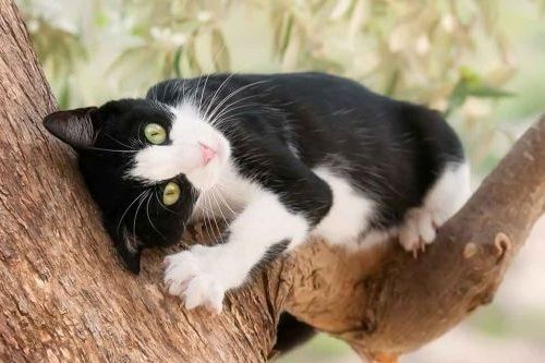 8 Fakta Unik Kucing Tuxedo Kucing Dua Warna Hitam Putih Gerava Ikan Hias Burung Kicau Kucing Anjing