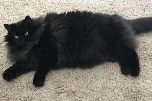 Kucing hitam lucu