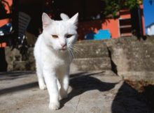 Kucing Putih Gemuk