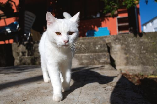 Cara Merawat Kucing Kampung Putih Yang Lucu