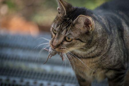 Kucing membawa mangsa