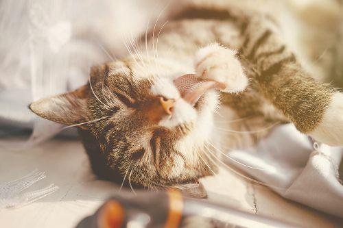 Kucing menjilati diri