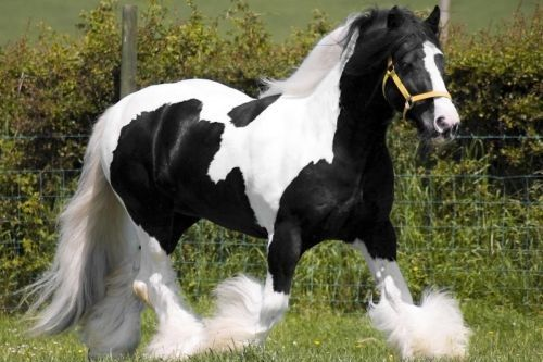 Kuda Gypsy Vanner