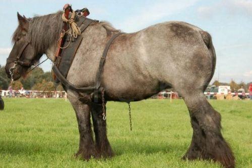 Kuda Pekerja Belanda