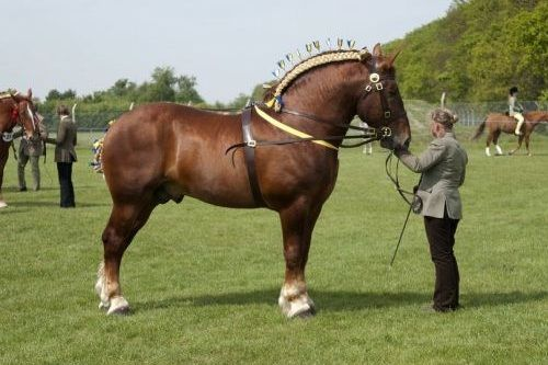 Kuda Suffolk Punch