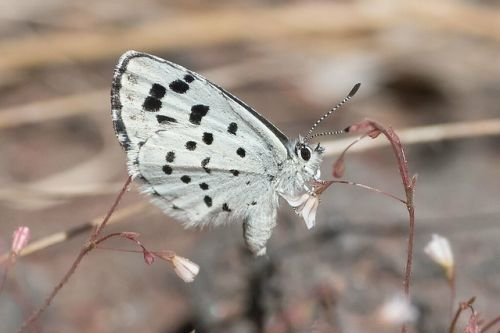 Kupu-kupu Leonas Little Blue