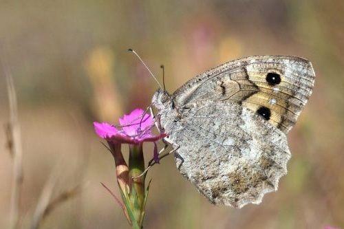 Kupu-kupu Macedonian Grayling