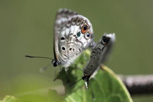 Kupu-kupu Miami Blue
