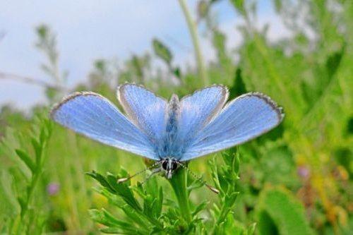 Kupu-kupu Palos Verdes Blue