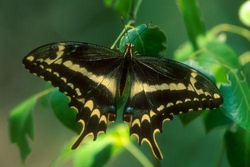 Kupu-kupu Schaus Swallowtail