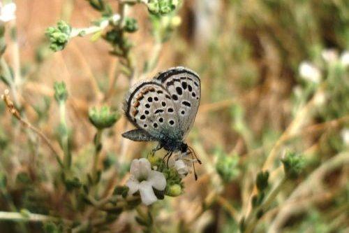 Kupu-kupu Sinai Baton Blue