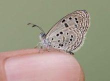 Kupu-kupu paling langka