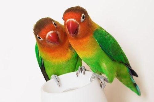 8 Jenis Makanan Yang Terbukti Bikin Lovebird Gacor Terus Gerava