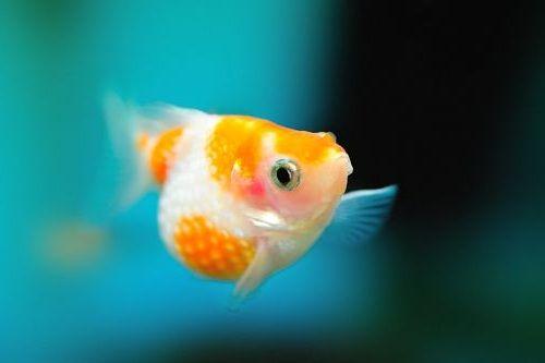 Cara Mengatur Akuarium Ideal Untuk Mas Koki Mutiara Gerava Ikan Hias Burung Kicau Kucing Anjing
