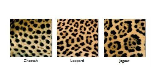 Perbedaan kulit macan tutul, cheetah, jaguar