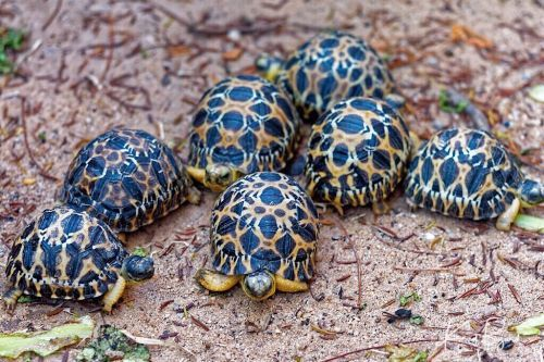 Baby Radiated Tortoises (Astrochelys radiata)