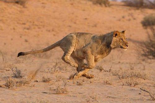 Singa lari
