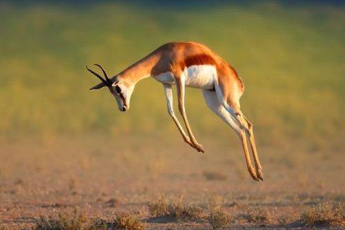 Springbok lari