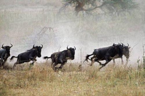 Wildebeest lari