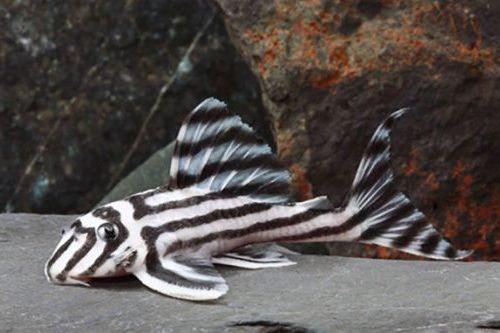 Zebra Pleco Unik