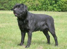Anjing Labrador Hitam