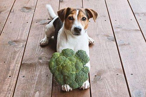 Anjing makan sayuran