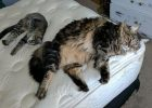 Foto Kucing Besar