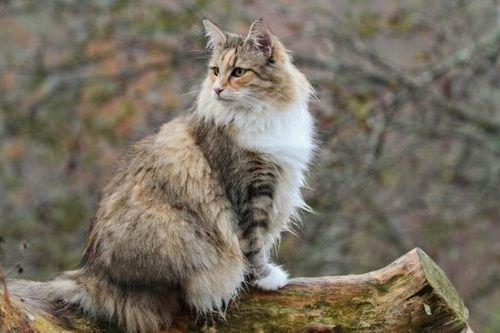 Foto Kucing Hutan Norwegia