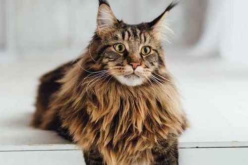 Foto Kucing Maine Coon