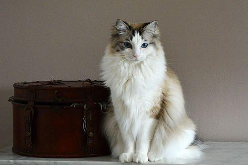 Foto Kucing Ragdoll