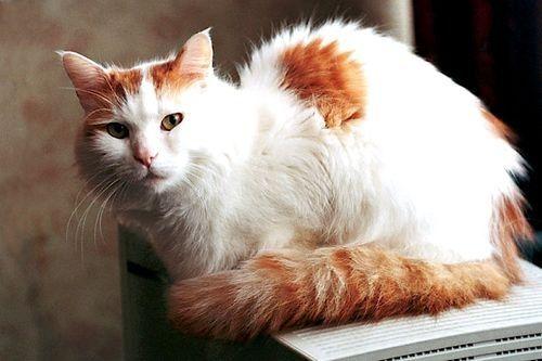 Foto Kucing Van Turki