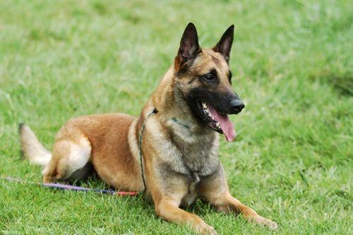 Gambar Anjing Belgian Malinois