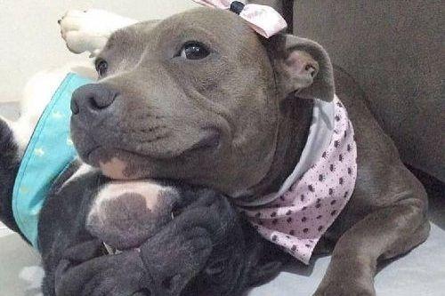 Gambar anjing Pitbull lucu 1