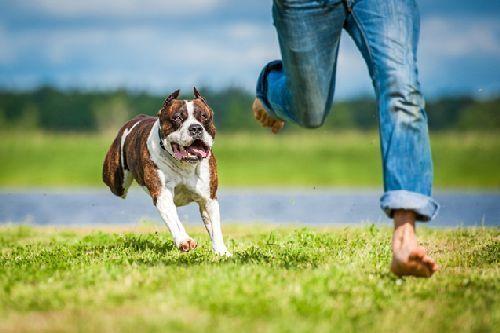 Gambar anjing Pitbull lucu 10