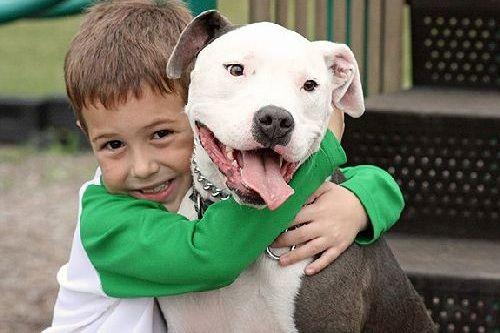 Gambar anjing Pitbull lucu 5
