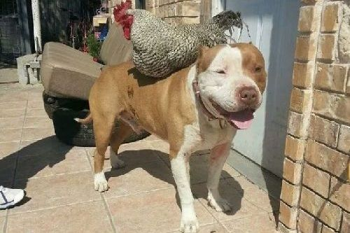 Gambar anjing Pitbull lucu 6