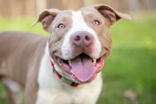 Gambar anjing Pitbull lucu 9