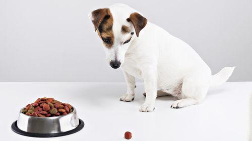 Gambar anjing tidak mau makan