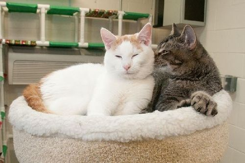 Gambar kucing pacaran