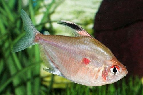 Ikan Bleeding Heart Tetra