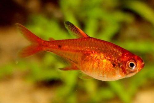 Ikan Ember Tetra