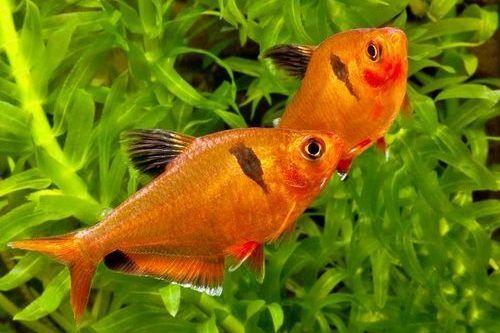 Ikan Serpae Tetra