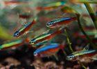 Ikan Tetra Hias