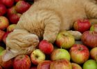 Kucing dan Apel