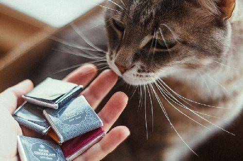 Kucing diberi cokelat